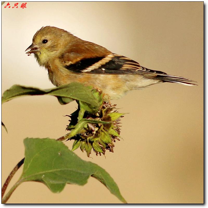 六只眼:秋菊和小鸟_图1-8