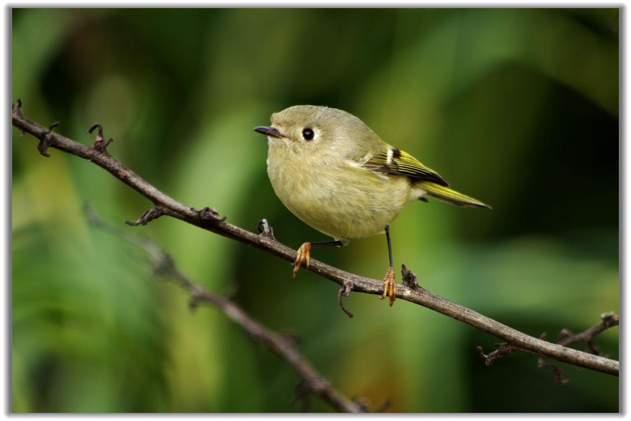 蹦蹦跳跳的黄喉鸟