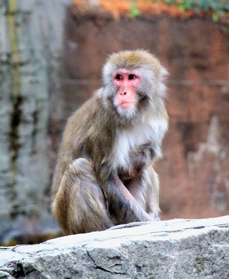 中央公园动物园里的猴子_图1-1