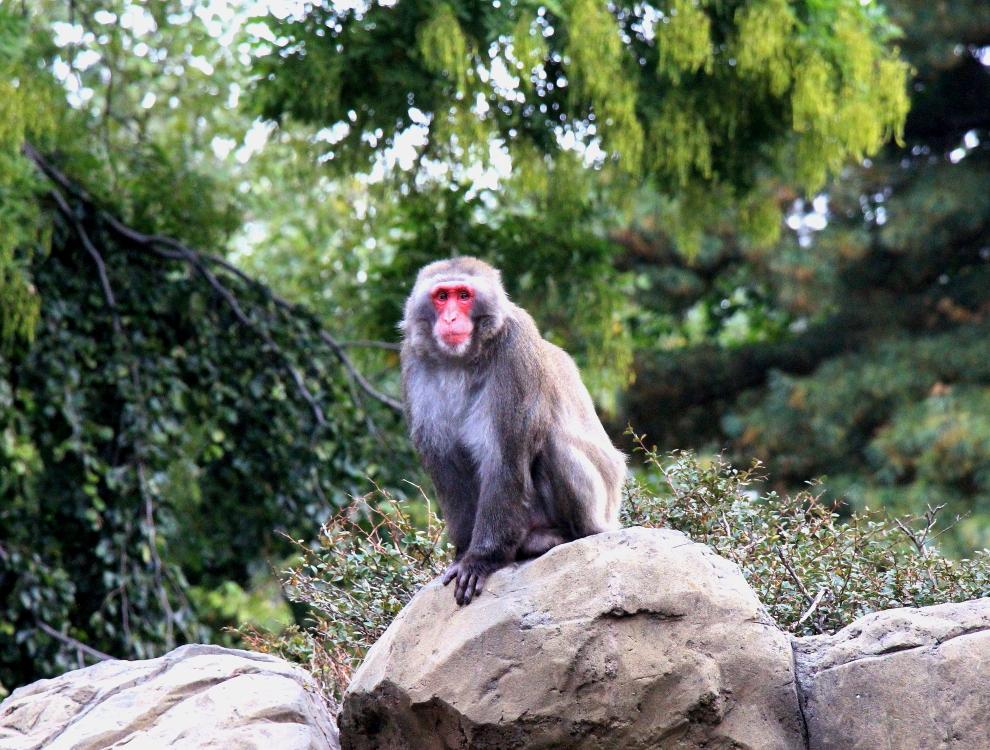 中央公园动物园里的猴子