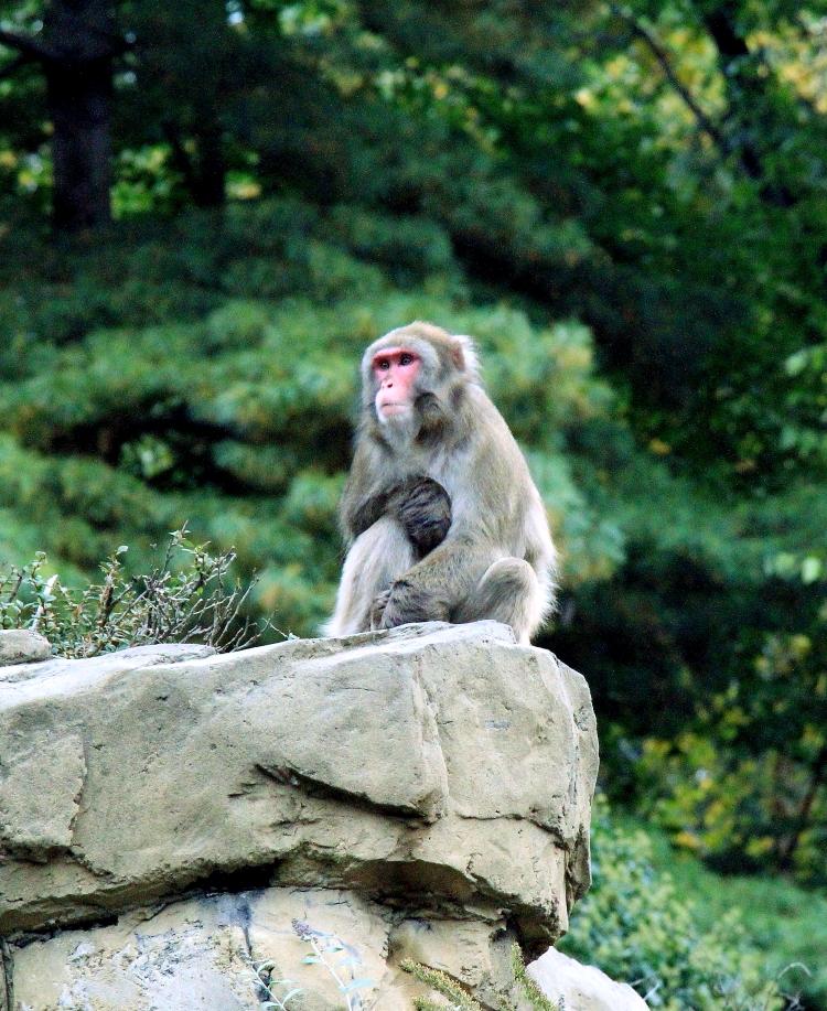 中央公园动物园里的猴子_图1-4