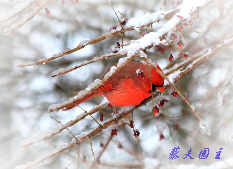 """""""红衣主教""""雪中来_图2-1"""