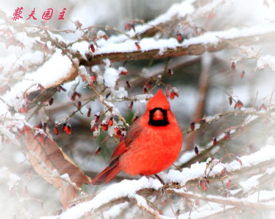 """""""红衣主教""""雪中来_图2-3"""