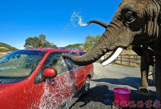 美国【大象\比基尼美女\机器】洗车的不同价格_图1-16