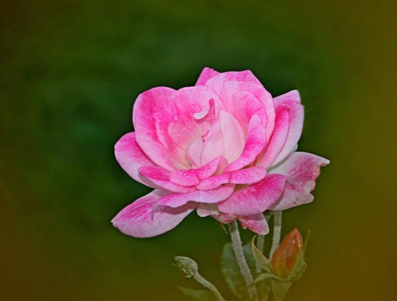 粉红色的月季花_图1-2