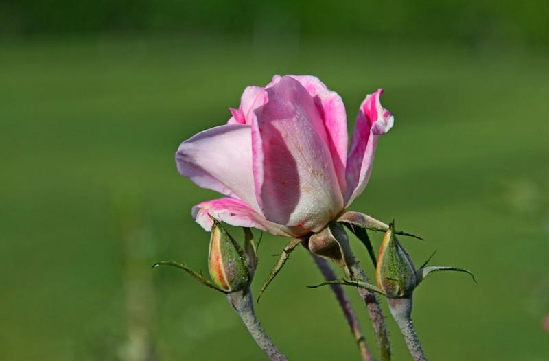 粉红色的月季花_图1-4