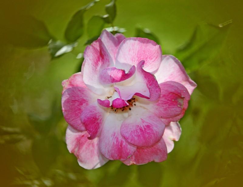 粉红色的月季花_图1-6