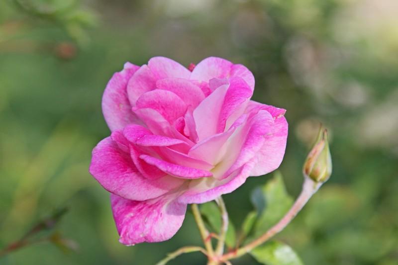 粉红色的月季花_图1-5