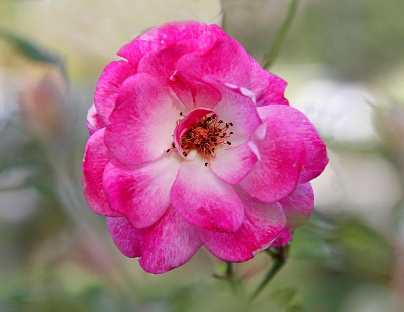粉红色的月季花_图1-7