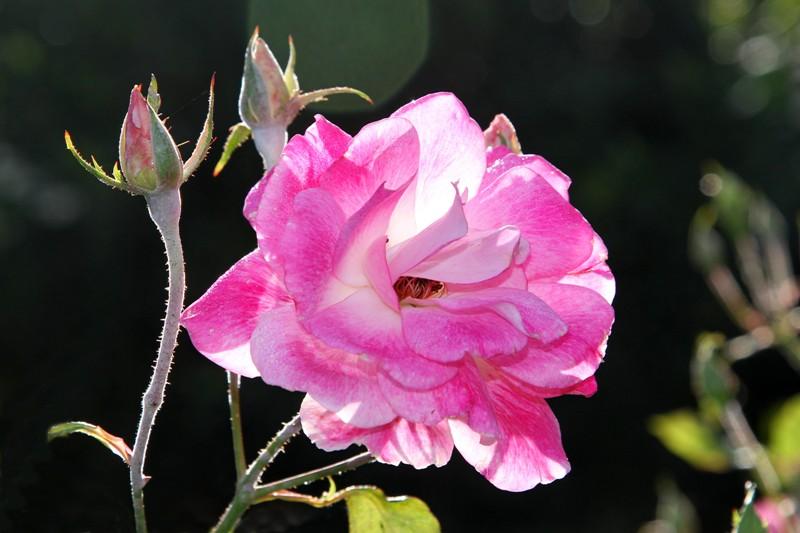 粉红色的月季花_图1-8
