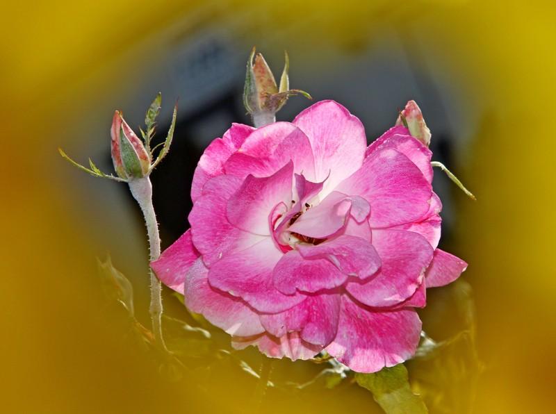 粉红色的月季花_图1-10