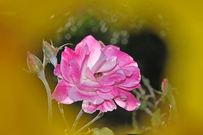 粉红色的月季花_图1-9