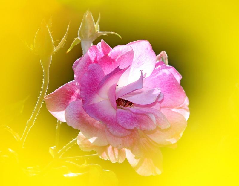 粉红色的月季花_图1-11