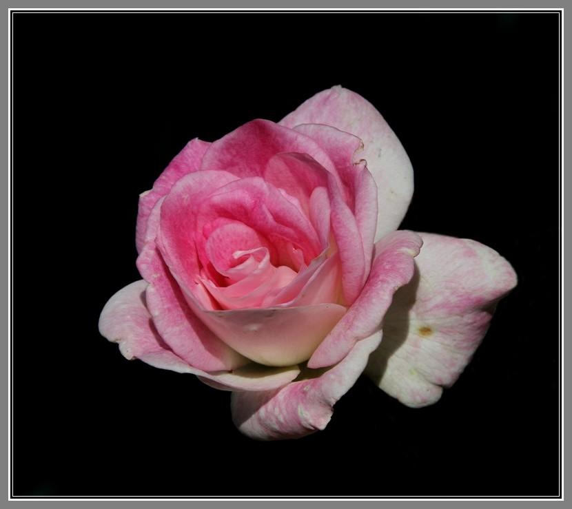 粉红色的月季花_图1-14