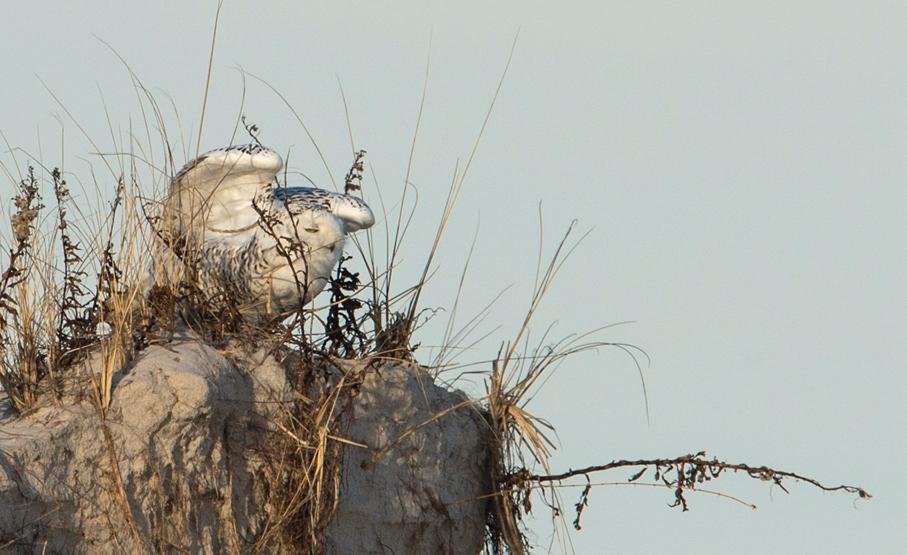 雪鸮起飞瞬间_图1-3