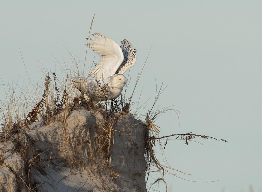 雪鸮起飞瞬间_图1-4