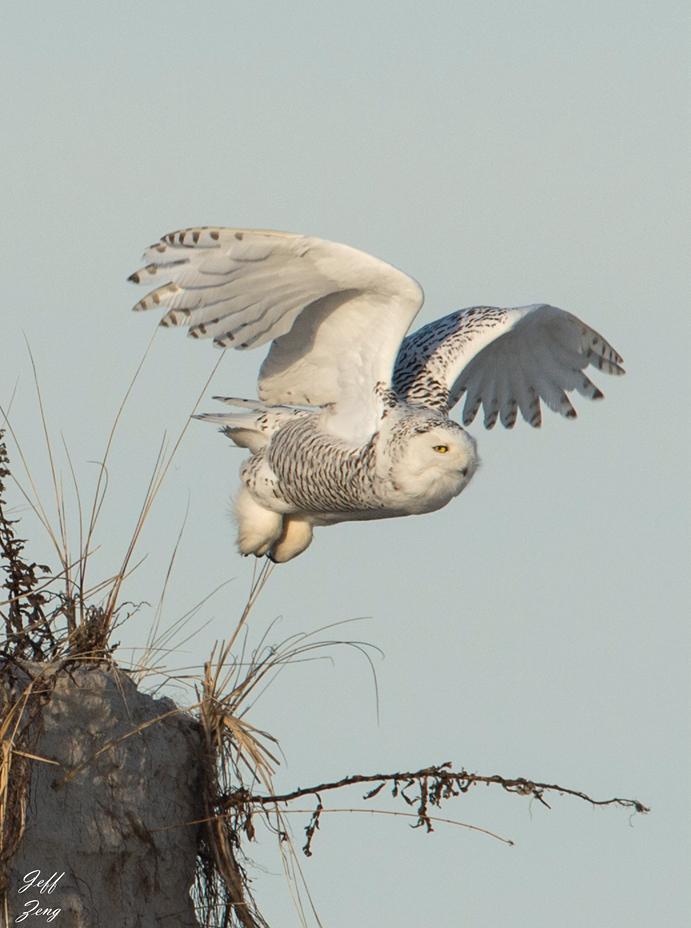 雪鸮起飞瞬间_图1-5