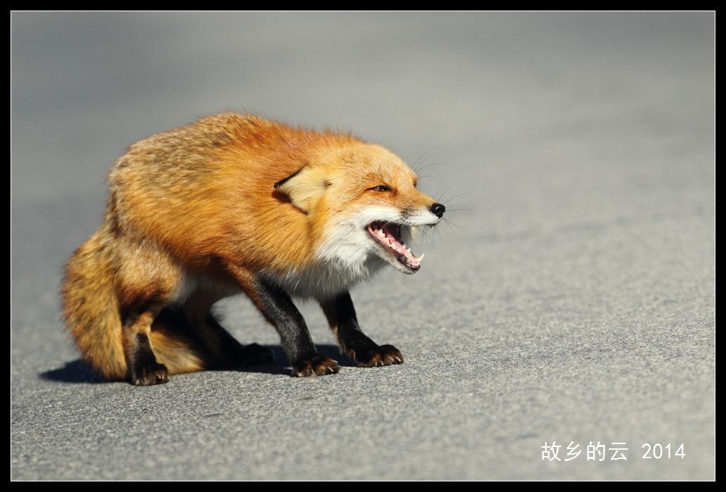 狐狸是几级保护动物
