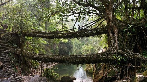 """印度奇特的""""活桥"""" 树根长成的天然桥梁_图1-3"""