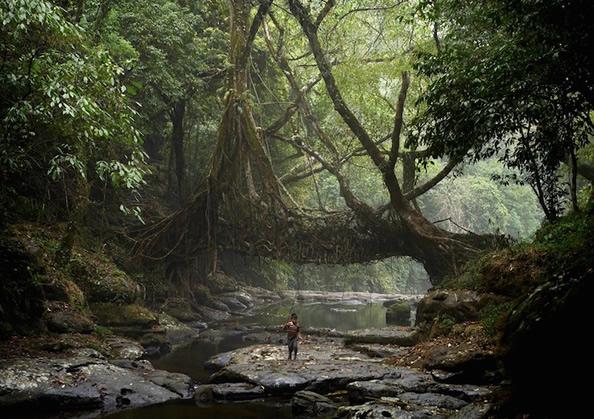"""印度奇特的""""活桥"""" 树根长成的天然桥梁_图1-4"""