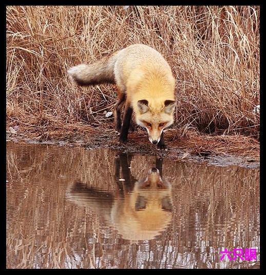 六只眼:雪地赤狐_图1-10
