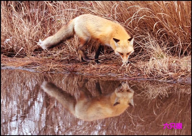 六只眼:雪地赤狐_图1-9