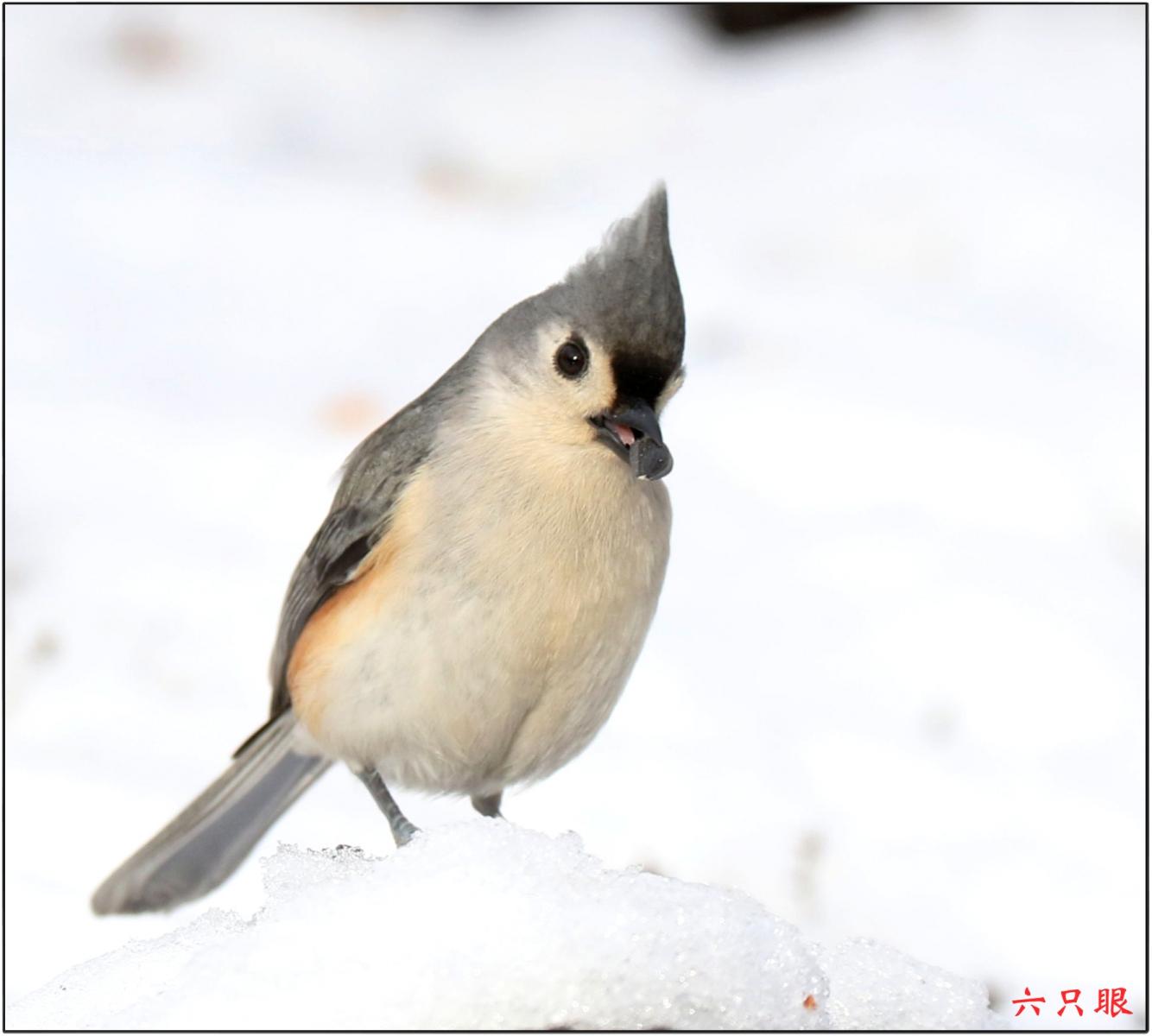六只眼:雪中小鸟觅食忙_图1-1