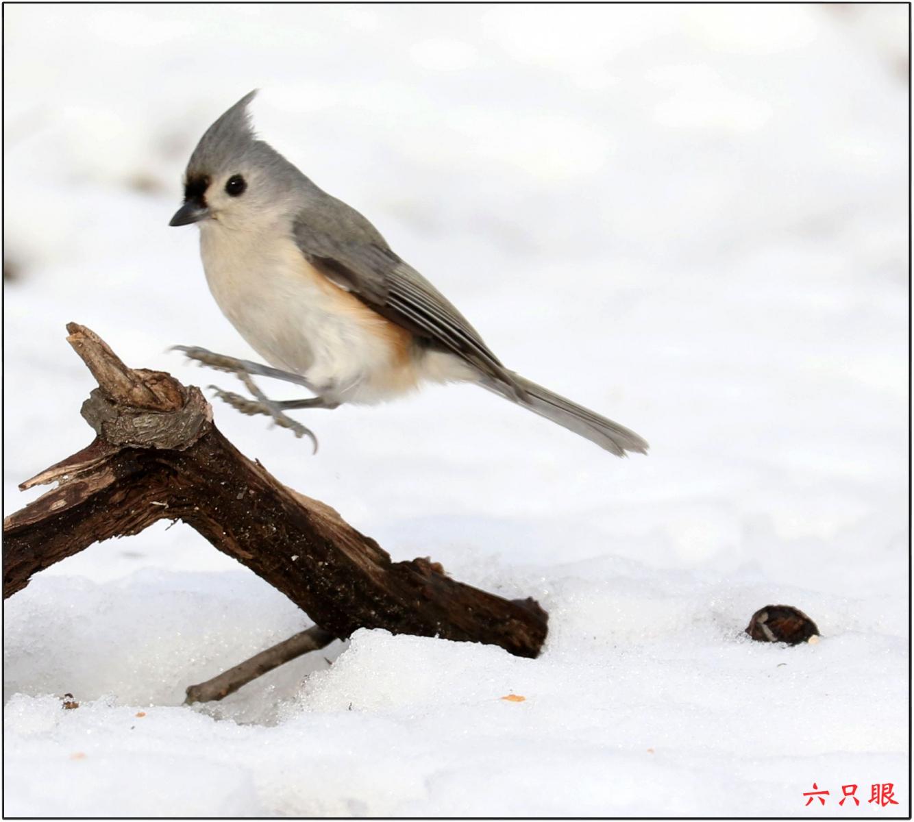六只眼:雪中小鸟觅食忙_图1-2