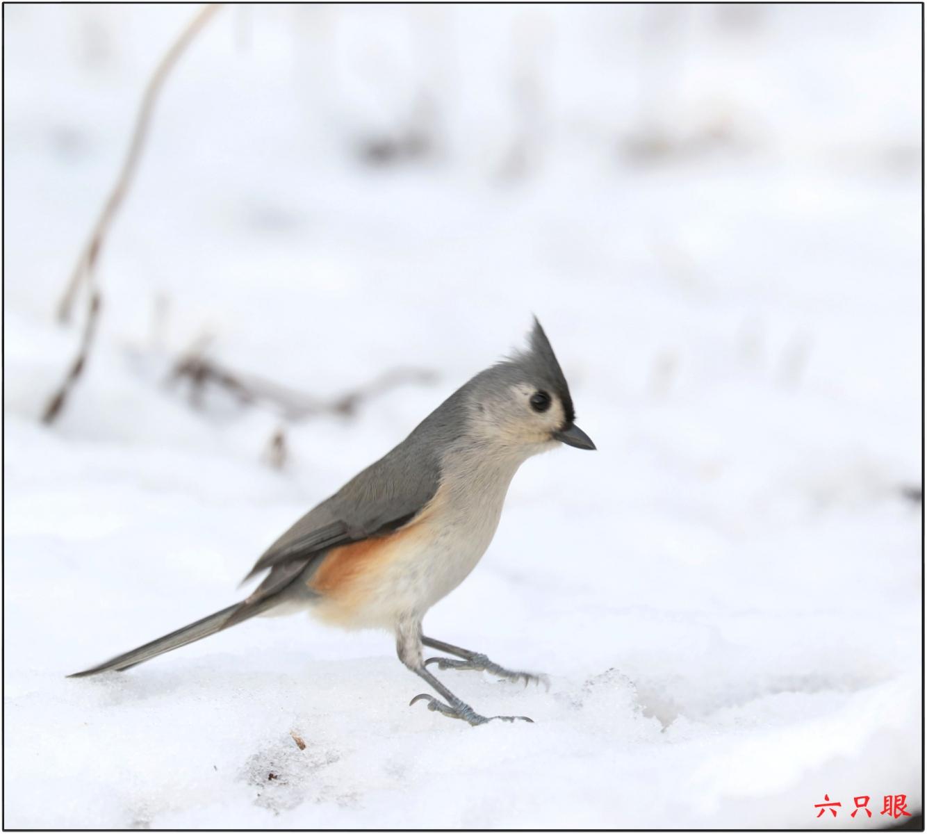 六只眼:雪中小鸟觅食忙_图1-3
