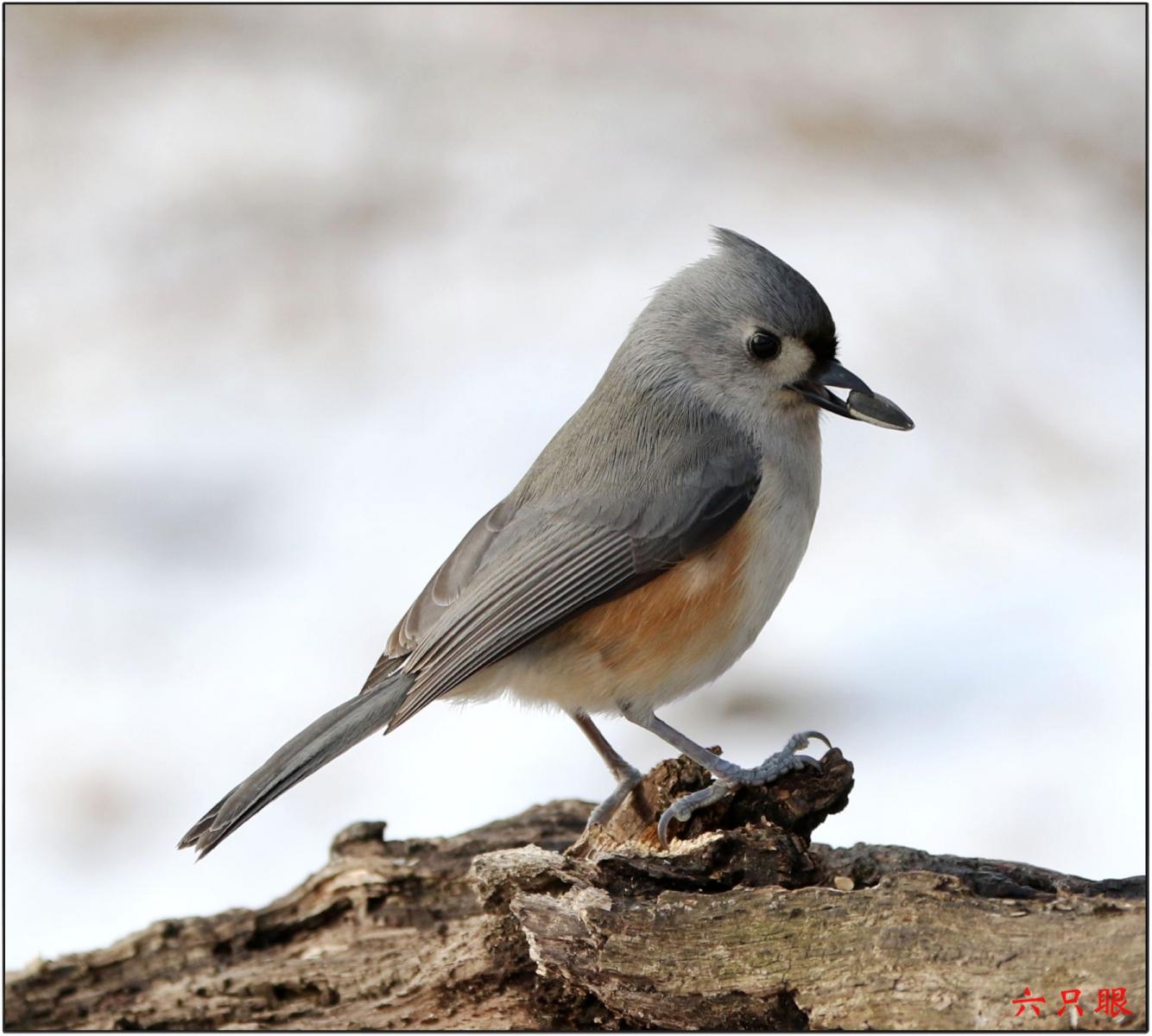 六只眼:雪中小鸟觅食忙_图1-4