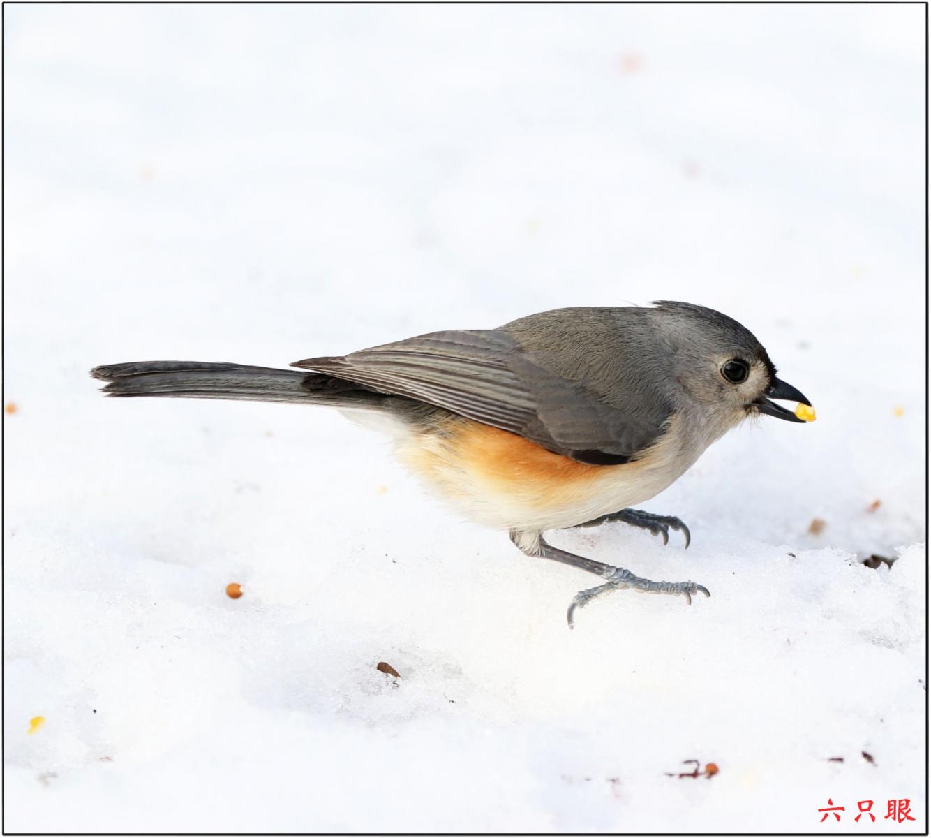 六只眼:雪中小鸟觅食忙_图1-5