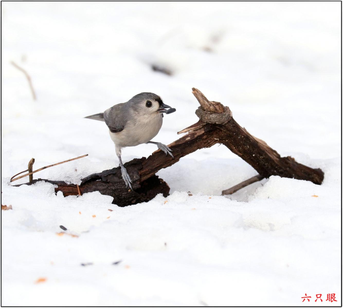 六只眼:雪中小鸟觅食忙_图1-7