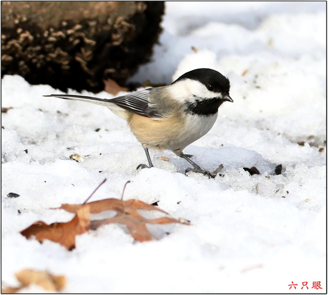 六只眼:雪中小鸟觅食忙_图1-8