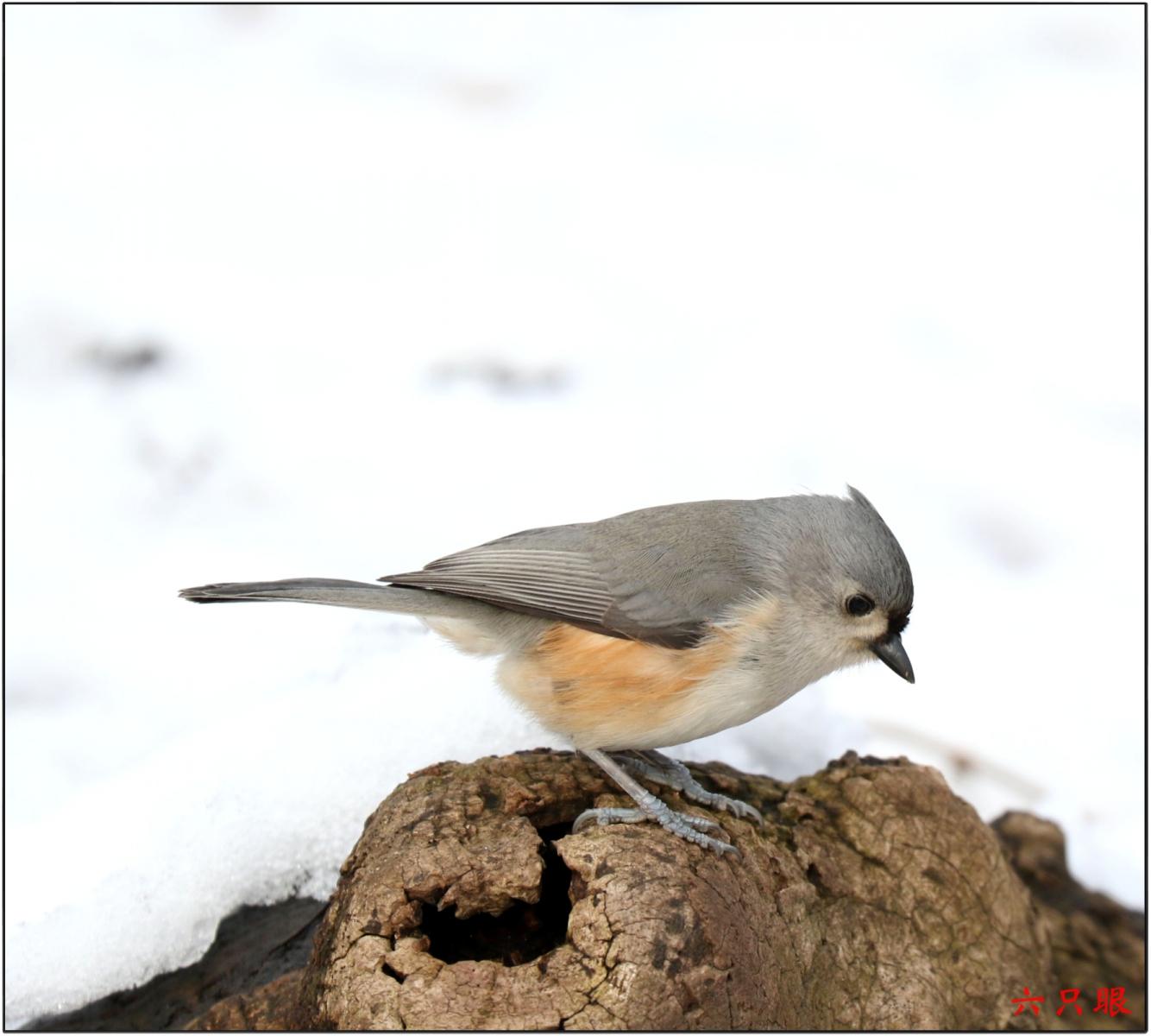 六只眼:雪中小鸟觅食忙_图1-6