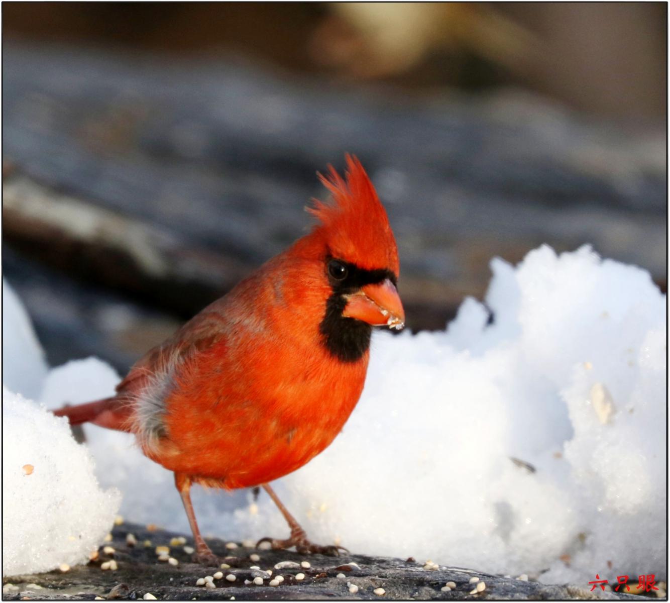 六只眼:雪中小鸟觅食忙_图1-11