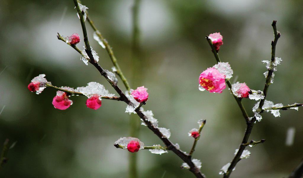 白雪梅影迎新春_图1-5