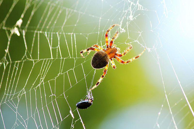 蜘蛛网杀苍蝇