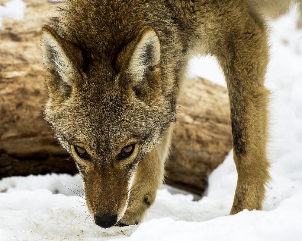 狼來了_图1-1