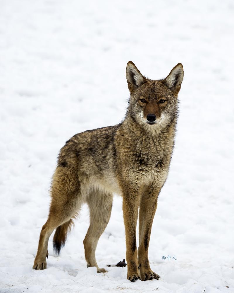 狼來了_图1-4