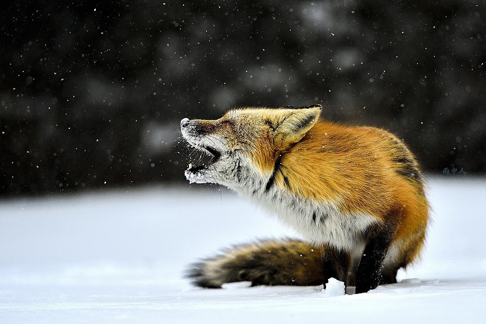 狐狸_图1-1