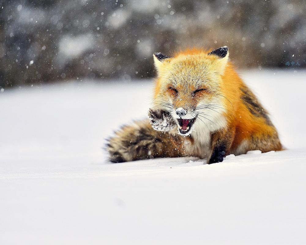 狐狸_图1-3