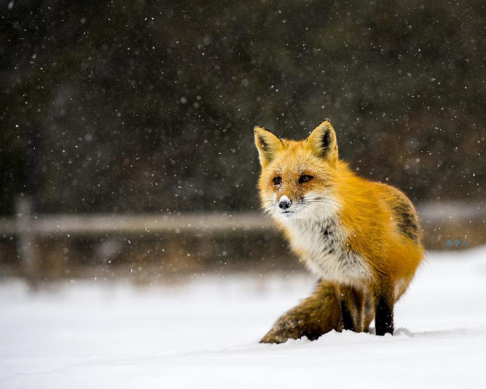 狐狸_图1-2