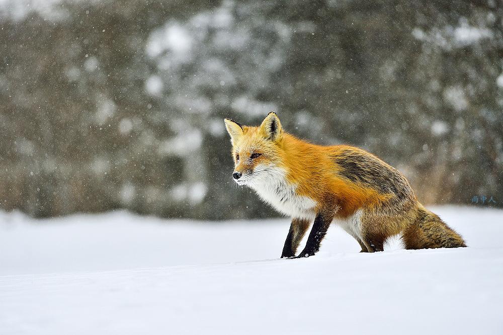 狐狸_图1-5