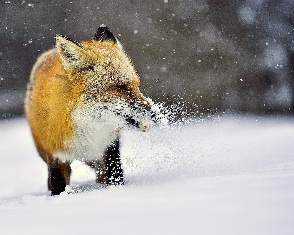 狐狸_图1-4