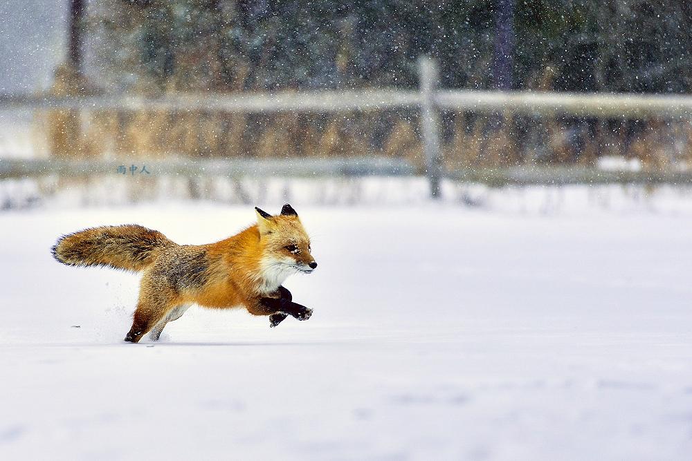 狐狸_图1-6