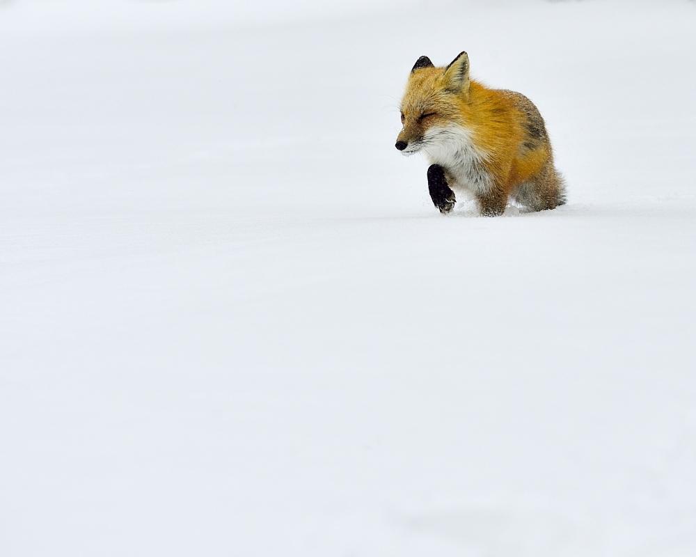 狐狸_图1-7