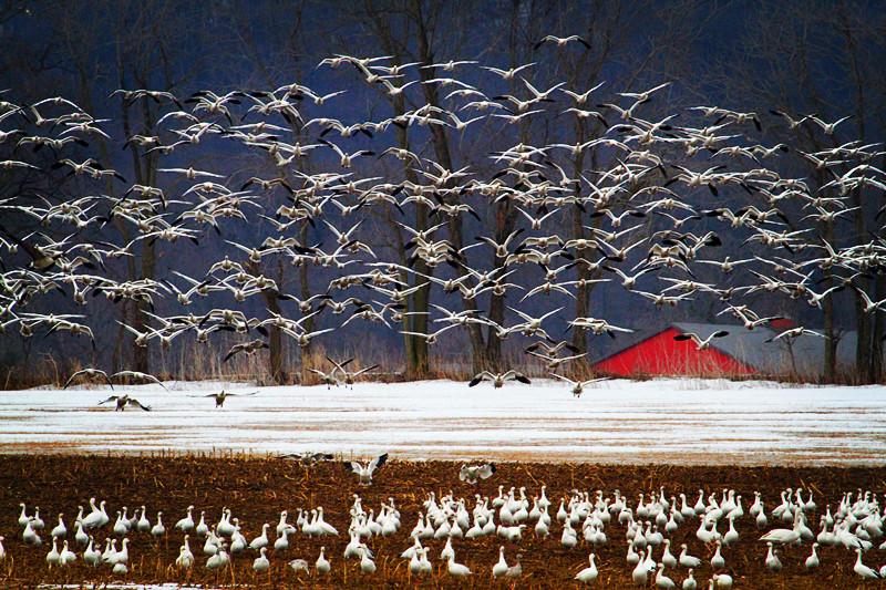 周末去宾州观雪雁、一路随拍与你分享_图1-2