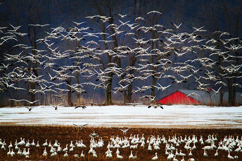 周末去宾州观雪雁、一路随拍与你分享_图1-1