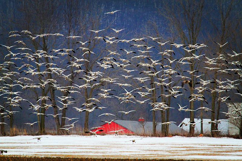 周末去宾州观雪雁、一路随拍与你分享_图1-3