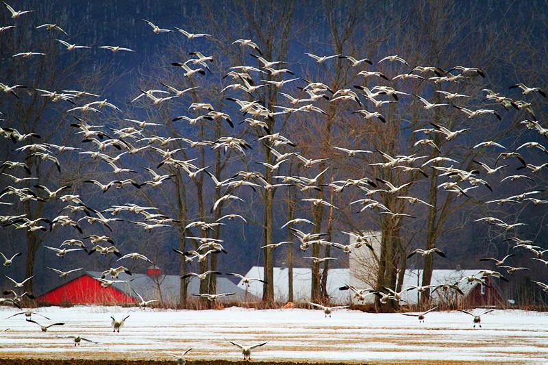 周末去宾州观雪雁、一路随拍与你分享_图1-4